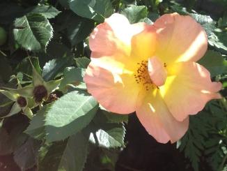Rose in Atisha Garden